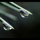 Pine needle and drops by Kimberlee Kern