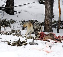 Wolf Kills in the Wild by WillOakley