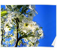 Bartlett Pear Tree Bloom Poster