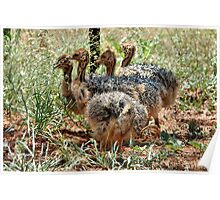 BABY GATHERING -  THE OSTRICH – Struthio camelus Poster