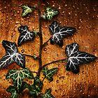 Sunset Ivy by Stephen Morris
