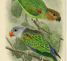 Blue-rumped Parrot - 1913 naturalist illustration by gumbogirlonline