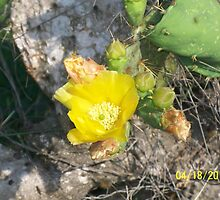 Cactus flower on the way to Brownsville, TX. by Baba John Goodwin