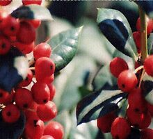 Holly berries... by Betty Smith_Voce