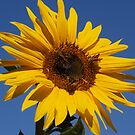 Sunflower Daisy by the57man