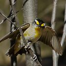 Pardalote Greeting by Rick Playle