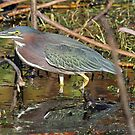 Green backed heron by jozi1