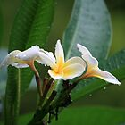 First Frangipani Bloom This Summer by aussiebushstick