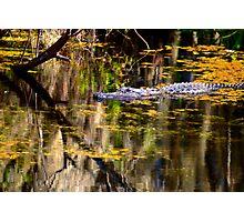 American Alligator Photographic Print