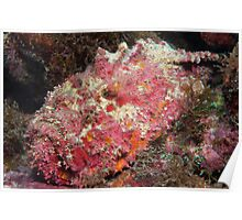 Reef Stonefish, off Port Moresby, Papua New Guinea Poster