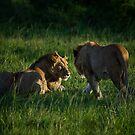 Lions of the Masai by Craig Scarr