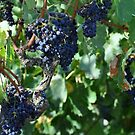 Fine, Fine Grapes on the Vine by MaryLynn