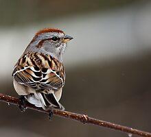 American Tree Sparrow by Wayne Wood