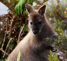Bennetts wallaby! by Ian Cox