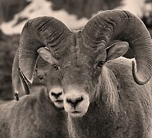 Rams are Close! (BW) by JamesA1