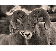 Rams are Close! (BW) Photographic Print