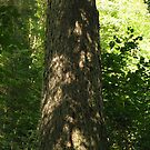 Very Old Balsalm tree - Mink Creek Falls, (click for full view) by loralea