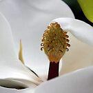 Magnolia by SuddenJim