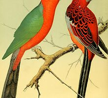 Colorful Birds of the Amazon: 1878 naturalist illustration by gumbogirlonline