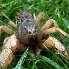 Hi I'm Spike: Burrowing Crayfish (Engaeus hemicirratulus)  by Travis Easton