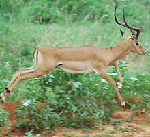 Impala Gazelle by Mike Chesterfield
