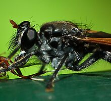 Robber Fly Macro I / Hunting (Best viewed larger) by kutayk