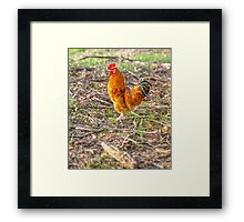 Young Rooster.... Framed Print