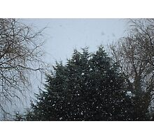 Firs and Snow Photographic Print