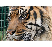 Big Cats Photographic Print