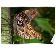 Mating Owl Butterfly - Caligo Poster