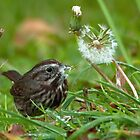 Sparrow Feeding on Dandelion by David Friederich