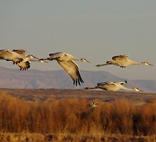 Sand Hill Cranes above the Bosque Del Apache by JBoyer