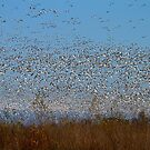 Snow Geese by flyfish70