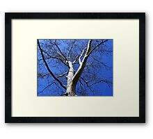 American Sycamore Framed Print
