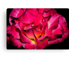edgy double delight rose Canvas Print