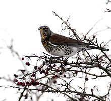 Fieldfare 3 by davejw