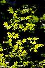 late summer sunny maple leaves by dedmanshootn