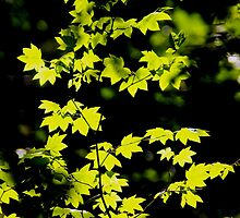 late summer sunny maple leaves by dedmanshootn