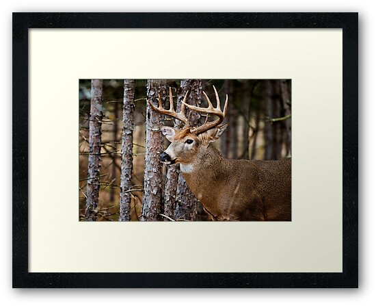 White-Tailed Buck by Michael Cummings