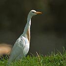 Cattle egret (bubulcus ibis) by Paulo van Breugel