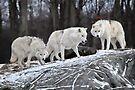 Wolf Pack by Bill Maynard