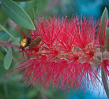 Red Brush Flower by Karen Martin IPA