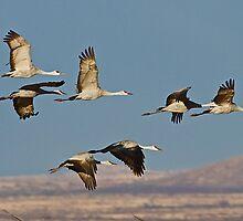 1218101 Sandhill Cranes by Marvin Collins