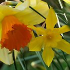Daffodils of different sizes -  by Bev Pascoe