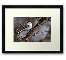 White Breasted Nuthatch Framed Print
