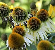 Coneflowers by karina5