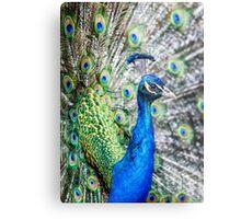 Resident Peacock Metal Print