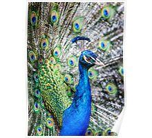 Resident Peacock Poster