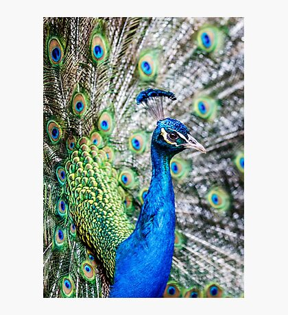 Resident Peacock Photographic Print