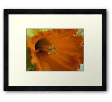 Daffodil of yellow & orange Framed Print